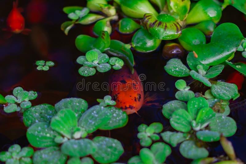 Röd fisk royaltyfri foto