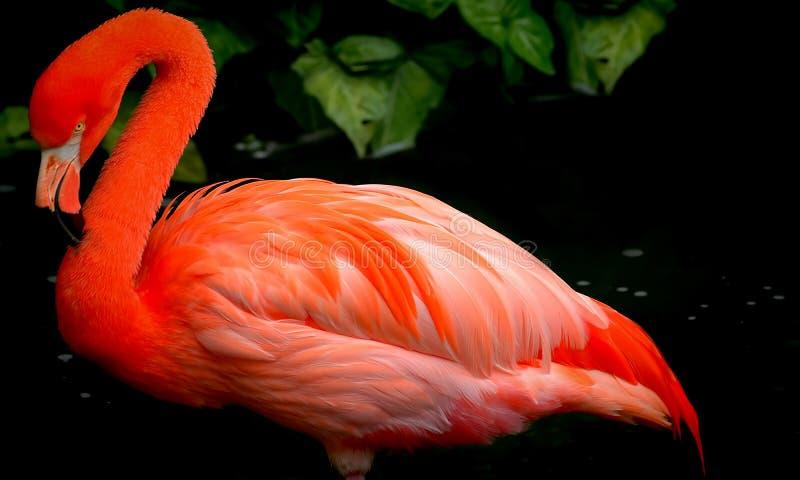 Röd flamingofågel fotografering för bildbyråer
