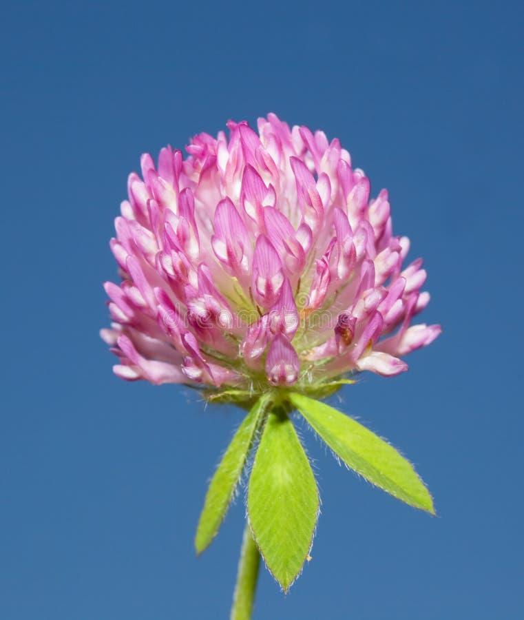 Röd flowerhead för växt av släkten Trifolium (trifoliumpratense) royaltyfri bild