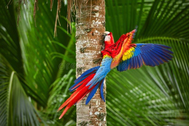 Röd fluga för papegojaarapapegoja i mörkt - grön vegetation Scharlakansröd ara, munkhättor Macao, i tropisk skog, Costa Rica arkivbild