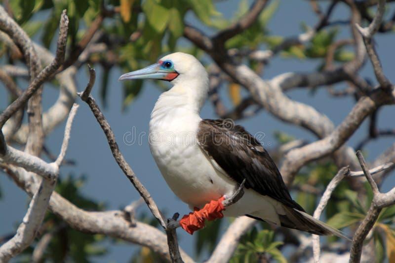 Röd-Footed dumskallefågel royaltyfri bild