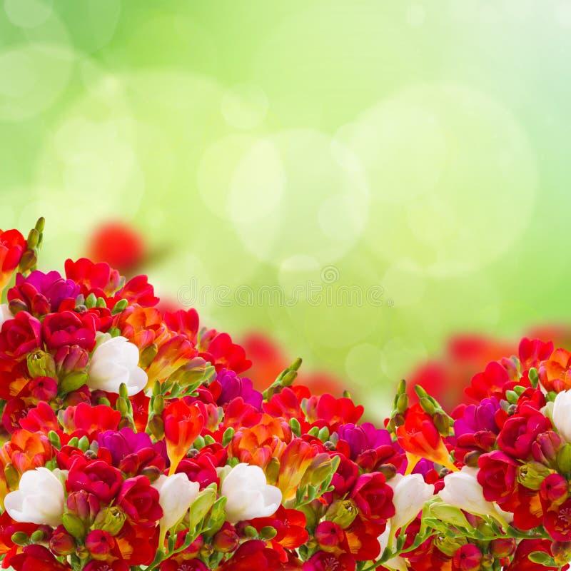 Röd freesia blommar i trädgård fotografering för bildbyråer