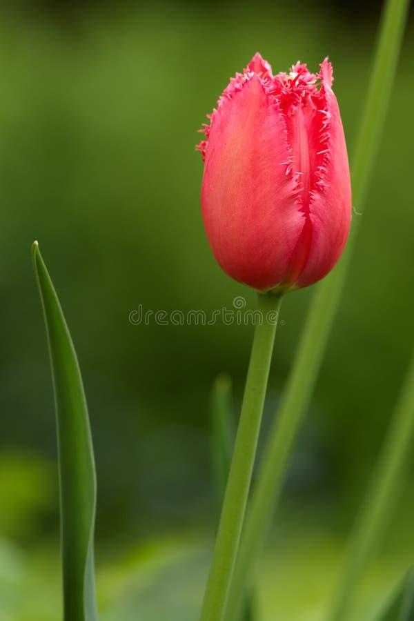 Röd frottétulpan arkivfoto