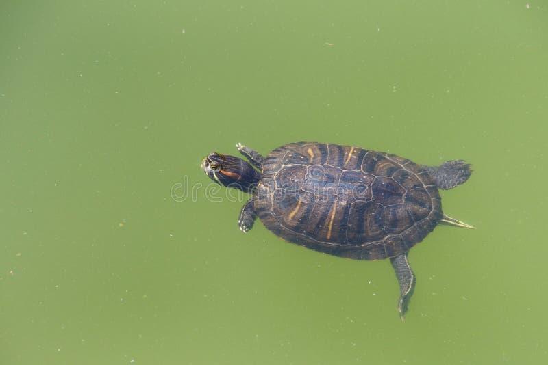 Röd gå i ax glidaresköldpaddasimning i grönt vatten royaltyfri bild
