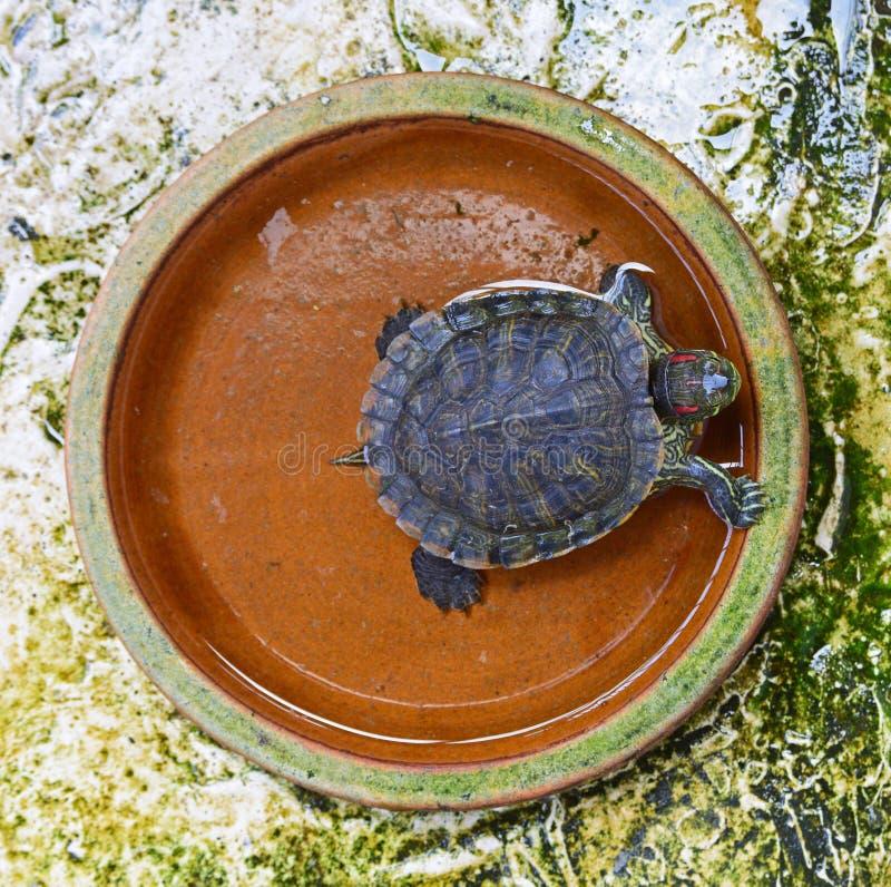 Röd-gå i ax glidaresumpsköldpadda i en brun leraplatta royaltyfri foto