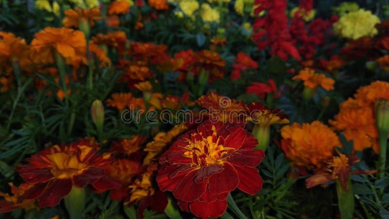 Röd Gada blomma i blommaträdgården i nattetid arkivbilder
