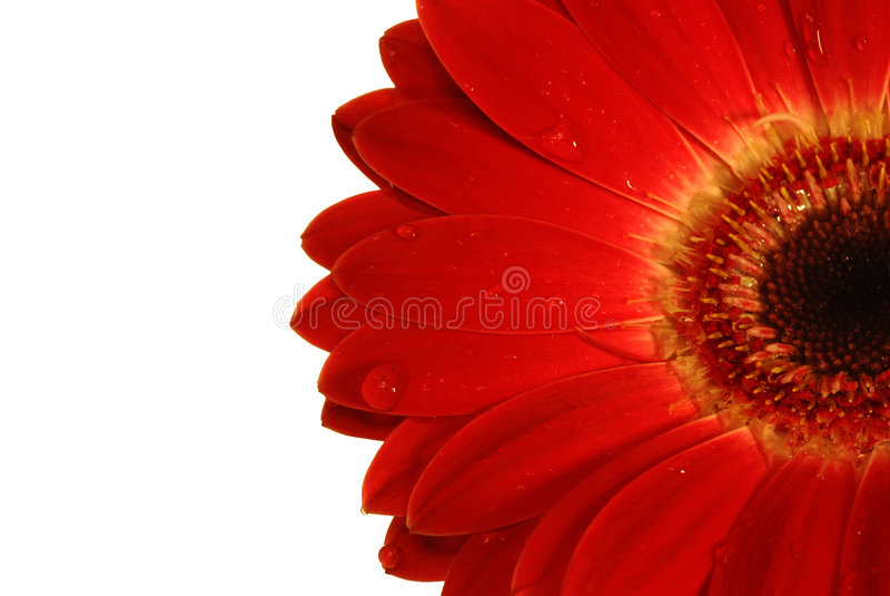Röd gerbera med droppar av vatten arkivbild