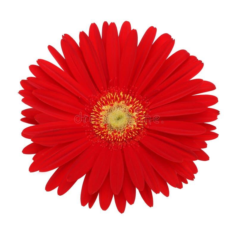 Röd gerberablomma royaltyfria bilder