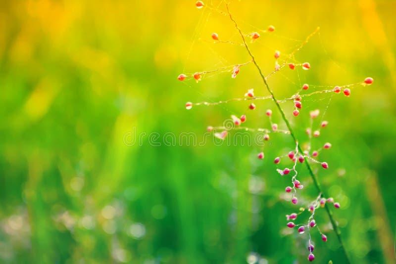 R?d gr?sblomma f?r ny v?r som blommar med daggdroppar p? morgonsoluppg?ng arkivbild