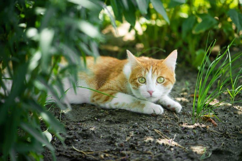 Röd grönögd katt som vilar på det gröna gräset arkivbilder
