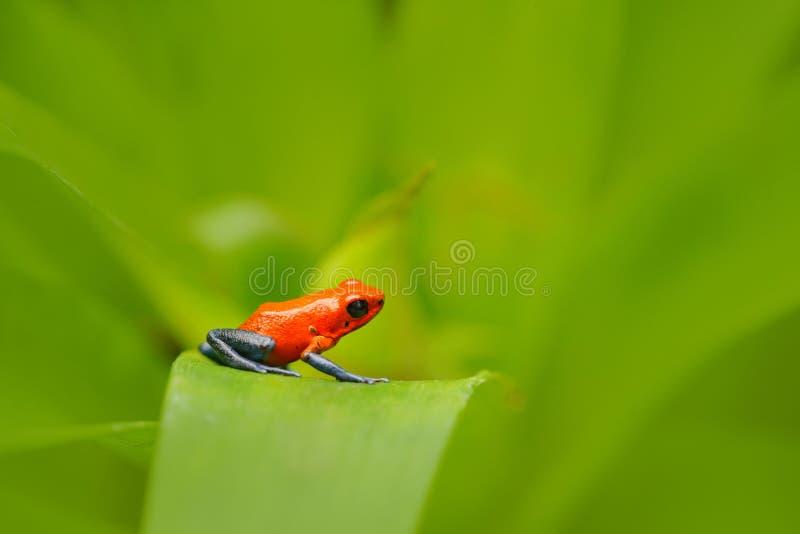 Röd groda för jordgubbegiftpil, Dendrobates pumilio, i naturlivsmiljön, Costa Rica Närbildstående av den röda grodan för gift Rar arkivfoton