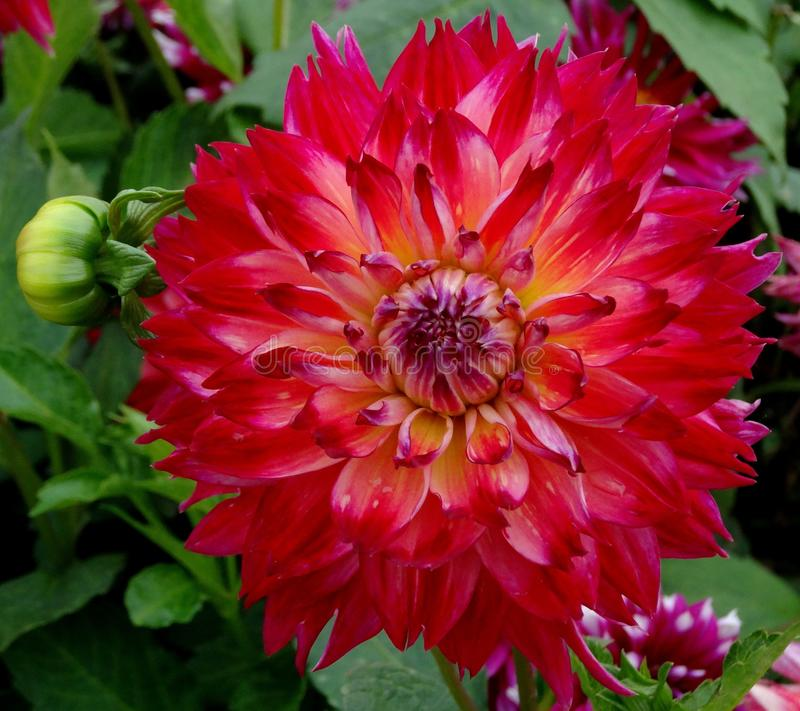 Röd gul dahlia i trädgård arkivbild