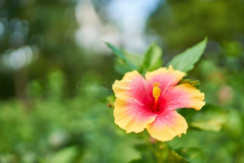 Röd gul hibiskusblomma fotografering för bildbyråer