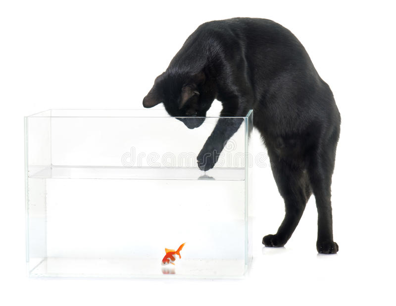 Röd guldfisk och svart katt fotografering för bildbyråer