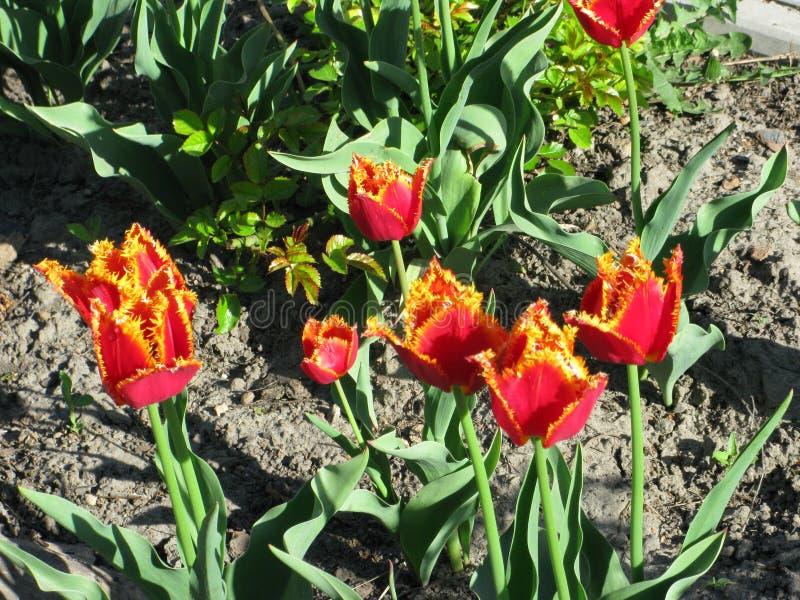 Röd-guling satte fransar på tulpan royaltyfri foto