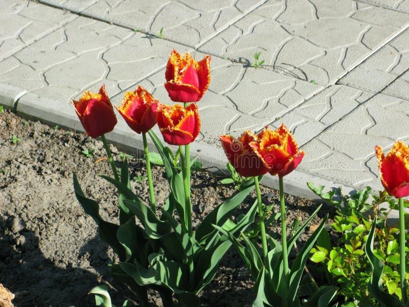 Röd-guling satte fransar på tulpan arkivbilder