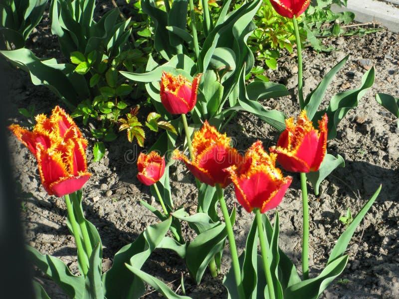 Röd-guling satte fransar på tulpan royaltyfri bild