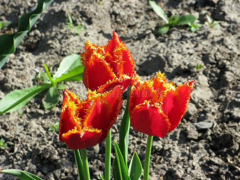 Röd-guling satte fransar på tulpan royaltyfria foton