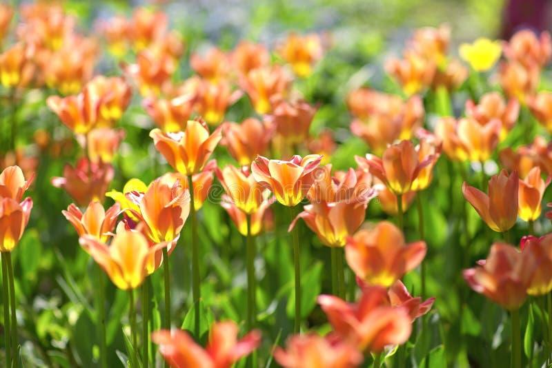 Röd-guling tulpan på en solig dag på en grön bakgrund TulpancultivarAprikot kejsare royaltyfri bild