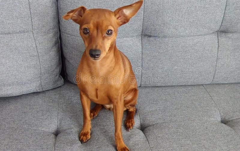 Röd gullig hund för miniatyrPinscher royaltyfria bilder