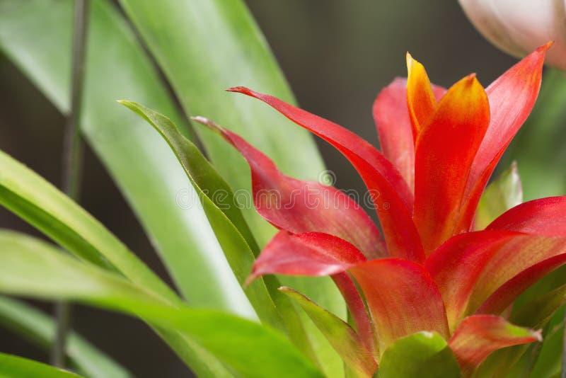 Röd guzmaniablomma royaltyfri fotografi