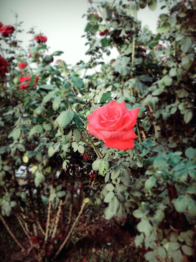 Röd härlig blomma royaltyfria foton