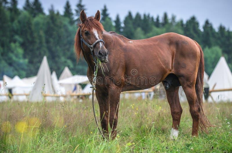 Röd häst i gräsfält mot himmel Vita tält på bakgrund royaltyfri fotografi