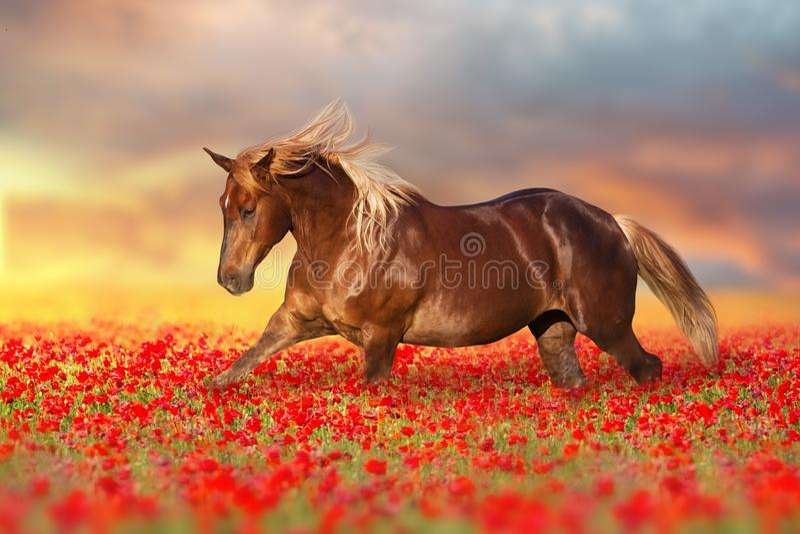 Röd häst i vallmoblommor arkivbilder
