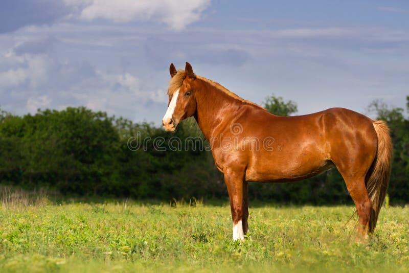 Röd hästkörning arkivfoto