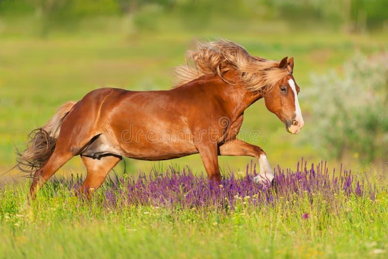 Röd hästkörning royaltyfria bilder