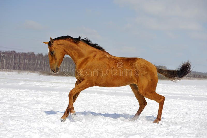 Röd hästspring i vinter royaltyfria bilder