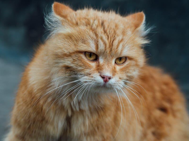Röd-hövdad katt arkivfoto