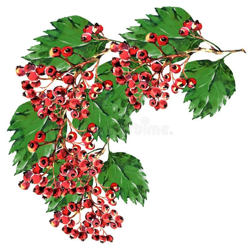 Röd hagtorn, vit bakgrundsvattenfärg för filial royaltyfri illustrationer