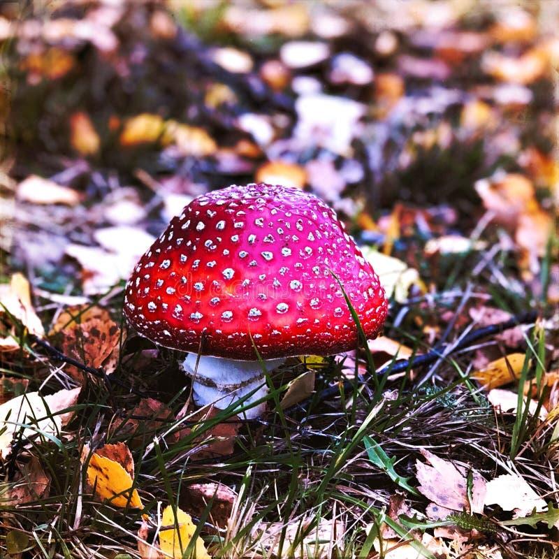 Röd hatt i skogen arkivbild