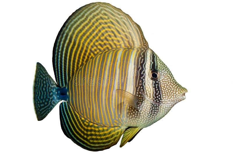 Röd havsSailfin Tang arkivfoton
