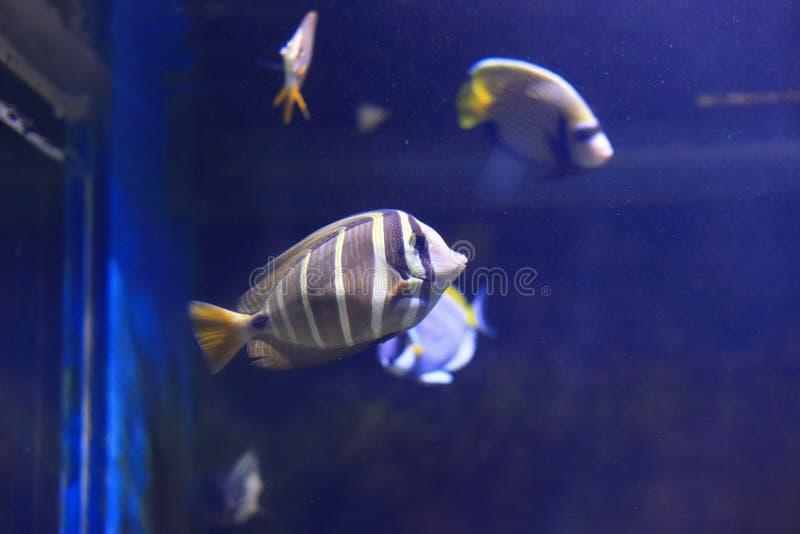 Röd havsSailfin Tang arkivfoto
