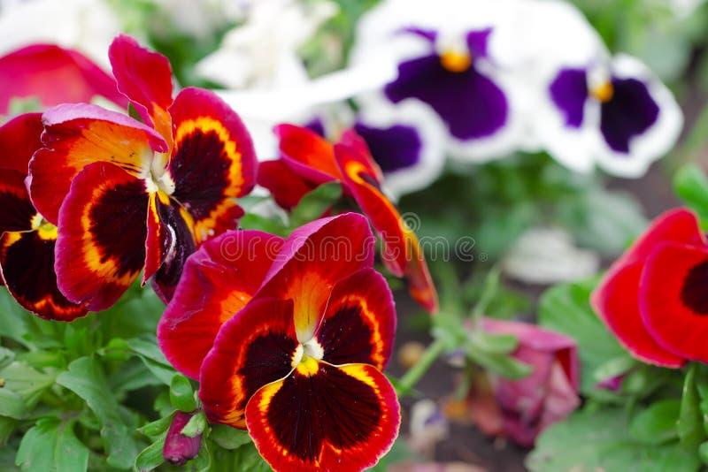 Röd heartsease, blommaträdgård - närbild royaltyfri foto