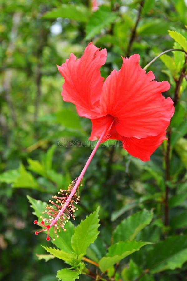 Röd hibiskus royaltyfria bilder