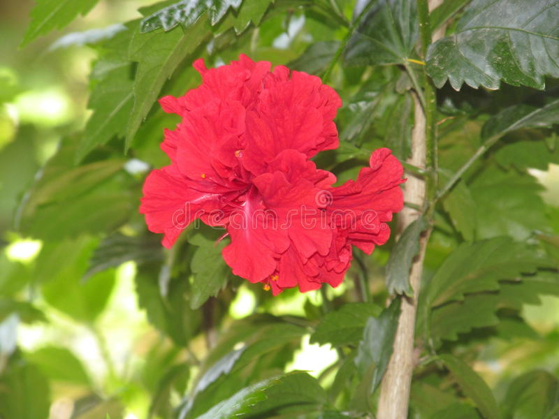Röd hibiskus royaltyfri fotografi