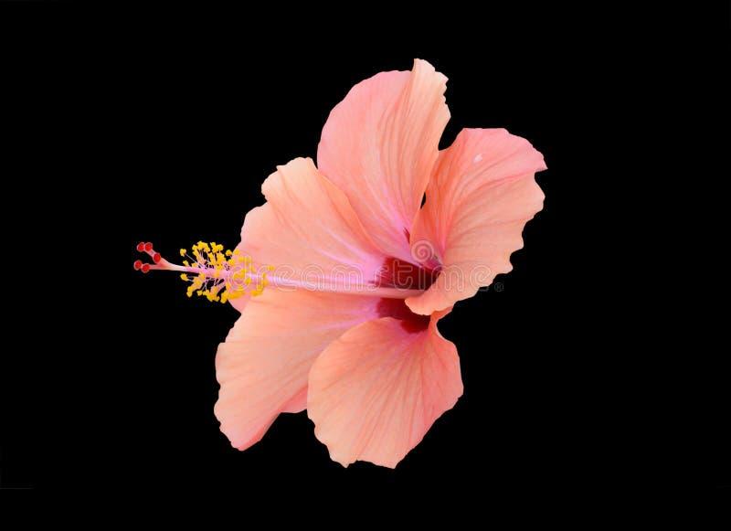 Röd hibiskus för persika royaltyfri foto