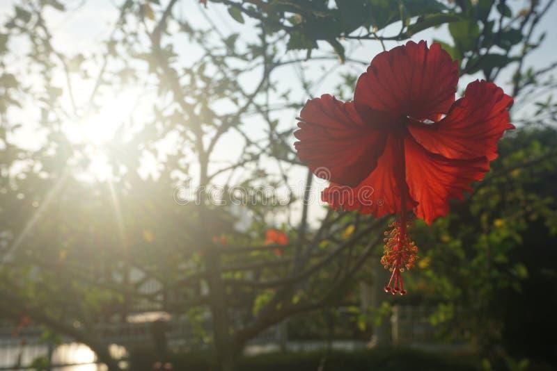 Röd hibiskus med bakgrund av resningsolen fotografering för bildbyråer