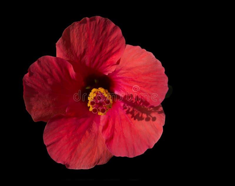 Röd hibiskus som isoleras på svart arkivfoto