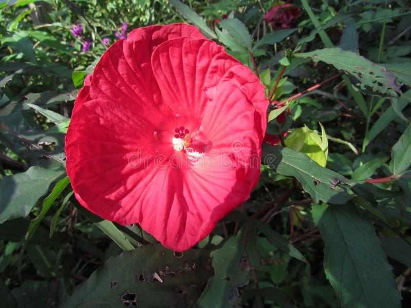 Röd hibiskusblomma med grön lövverk i eftermiddagljus royaltyfria foton