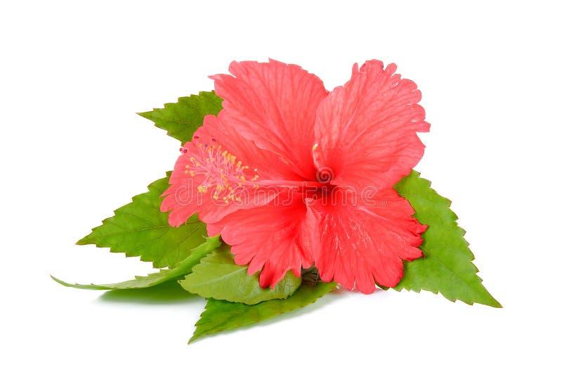 Röd hibiskusblomma på den vita bakgrunden royaltyfri foto