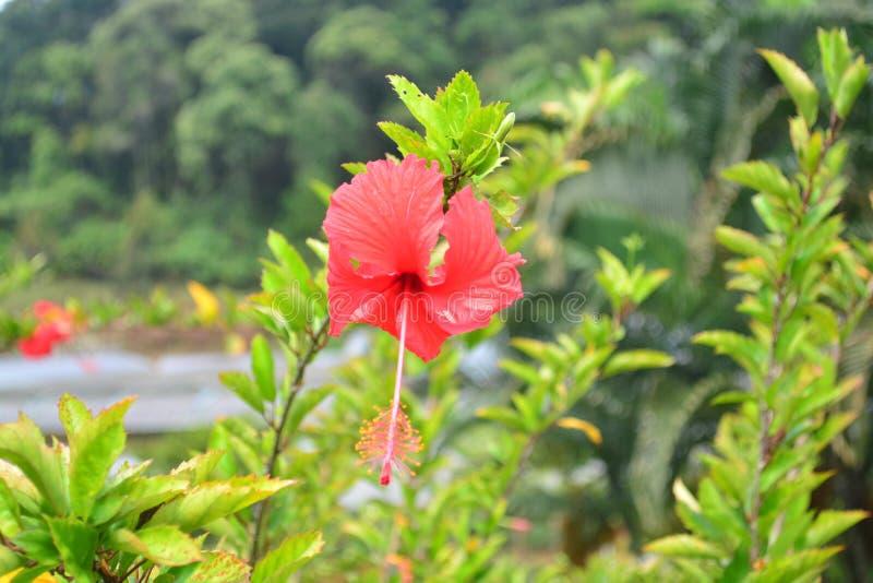 Röd hibiskusblommabuske i botaniska trädgården, Thailand fotografering för bildbyråer
