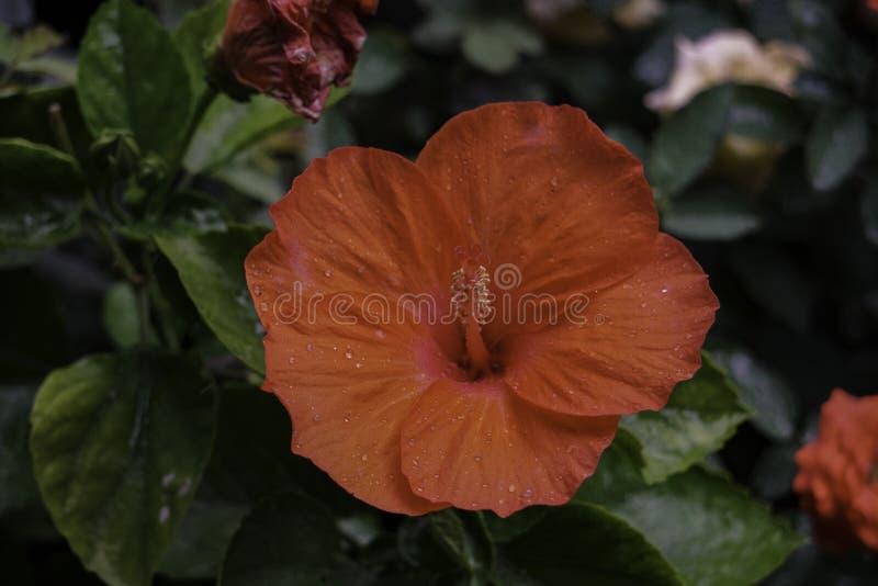 Röd hibiskusblommaväxt på takträdgården arkivfoto