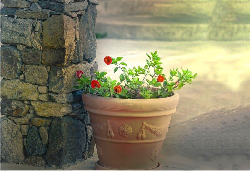 Röd hibiskusväxt isolerat arkivfoton