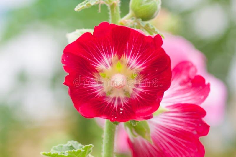 Röd Hollyhockblomma royaltyfri foto