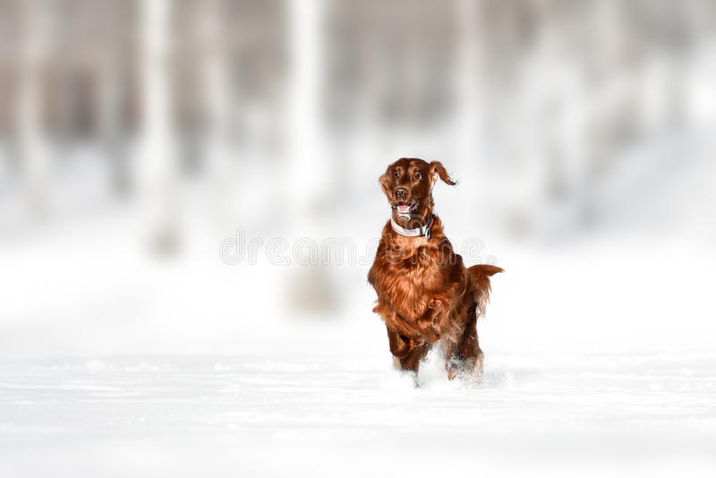 Röd hund för irländsk setter i snöfält royaltyfri foto