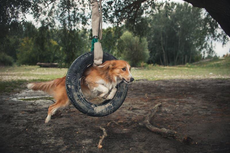 Röd hundBorder collie banhoppning till och med ett gummihjul arkivfoton